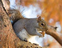250px-Eastern_Grey_Squirrel_in_St_James's_Park,_London_-_Nov_2006_edit