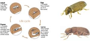 carii de lemn