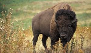 bizonul